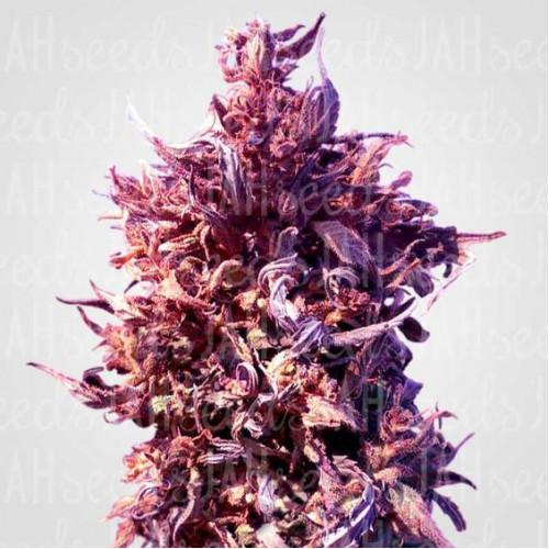 Auto Red Poison Feminised (поштучно) насіння конопель: фото, характеристики, відгуки, опис
