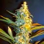 Orange Bud Feminised (поштучно) насіння конопель: фото, характеристики, відгуки, опис