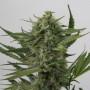 Auto OG Kush Feminised (поштучно) насіння конопель: фото, характеристики, відгуки, опис