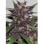 Auto Purple Kush Feminised (поштучно) насіння конопель: фото, характеристики, відгуки, опис