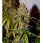 Auto Brooklyn Sunrise Feminised (поштучно) насіння конопель: фото, характеристики, відгуки, опис