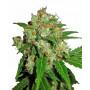 Sensi Skunk Feminised насіння конопель: фото, характеристики, відгуки, опис