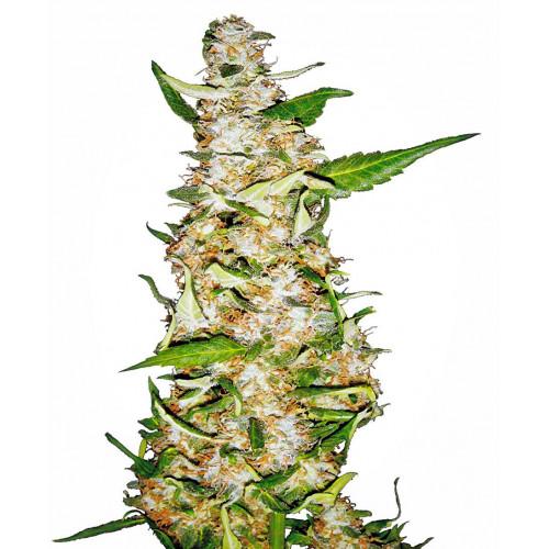 Auto Skunk #1 Feminised насіння конопель: фото, характеристики, відгуки, опис